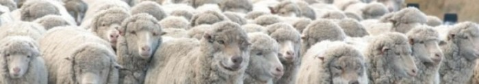 cropped-cropped-cropped-sheep-herd11.jpg