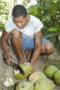 Coconuts in Fiji.